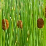 Zwergrohrkolben - Typha minima