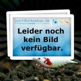 Seewassercopepoden Lebendfutter / Hüpferlinge / Cyclops spec. / Ruderfußkrebse