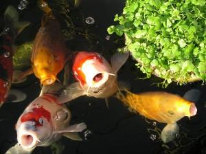 Ein schöner Koi Teich