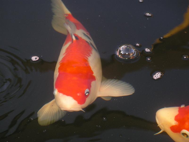 Koi karpfen und herk mmliche karpfen im vergleich for Kois und goldfische in einem teich