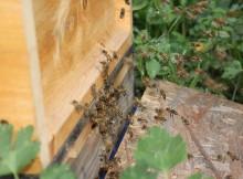 Bienen im Anflug auf den Bienenstock
