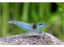 Blue Pearl Garnele im Aquarium