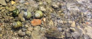 Sumpfdeckelschnecken
