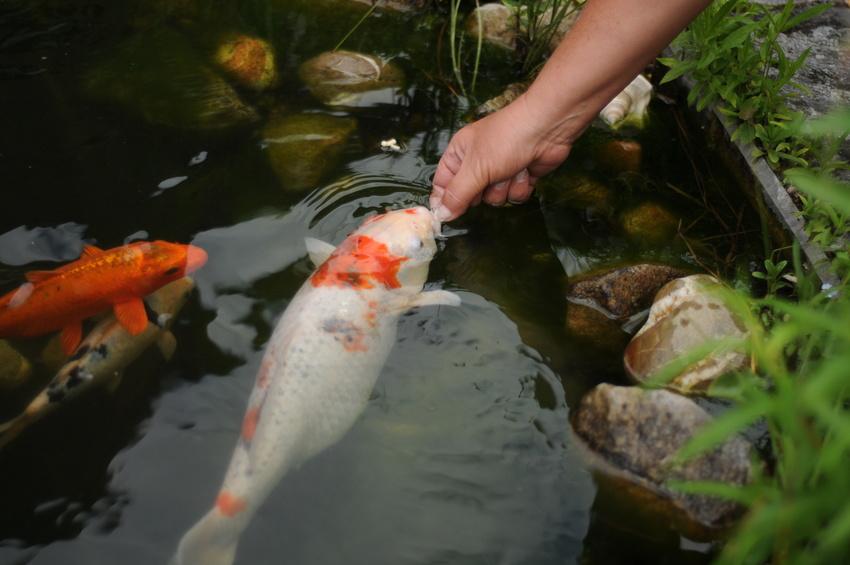 Koi f tterung im sommer wie viel futter soll ich meinen for Was brauchen fische im teich