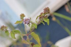 Oregano Blüte