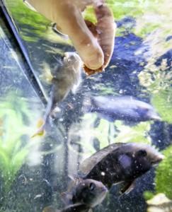 Fütterung im Aquarium