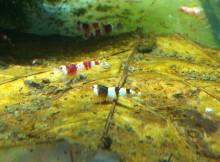 Pflege im Garnelen Aquarium