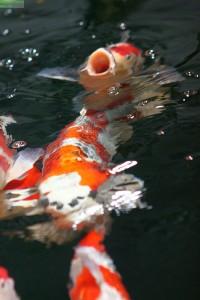Koi Fütterung im Teich