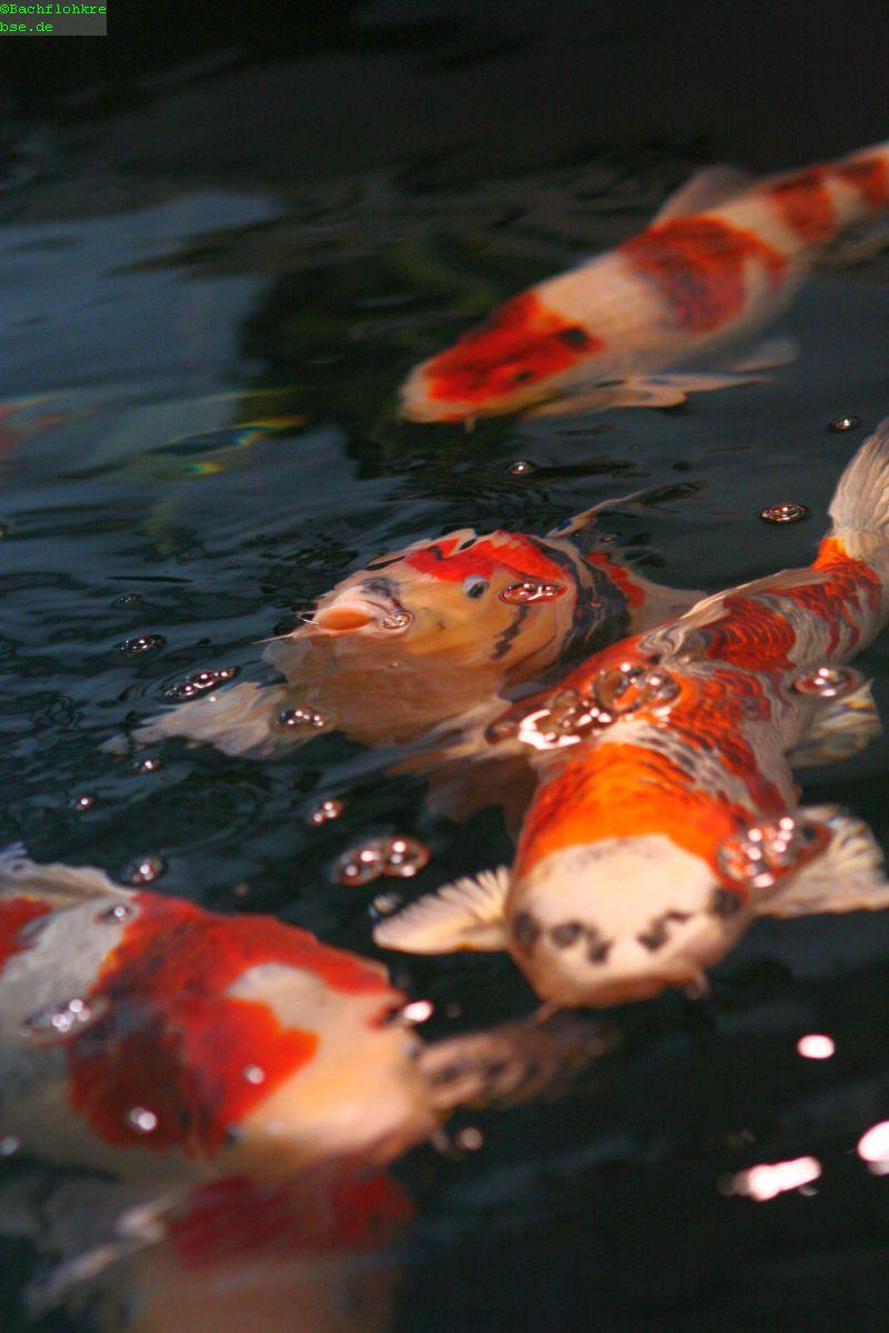 Propolis die k rpereigene abwehr der koi und teichfische for Koi teichfische