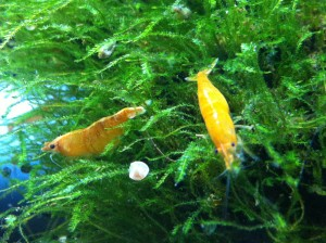 Orange Fire im Garnelenaquarium