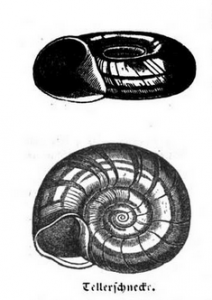 Zeichnung der Posthornschnecke