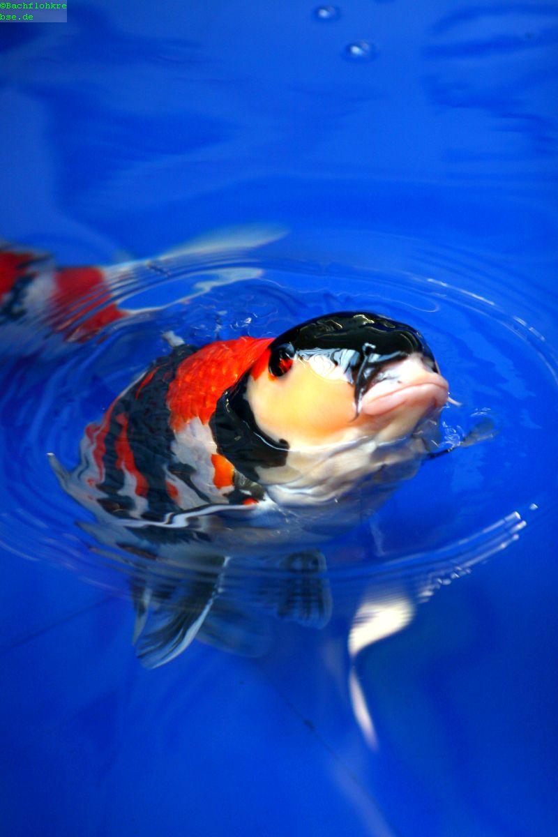 Koifutter grundlagen die richtige f tterung von koi for Welche fische passen zu kois