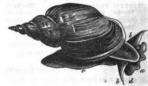 Zeichnung der Spitzschlammschnecke